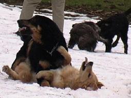 hund hält kopf schief